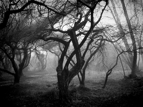 old trees in fog